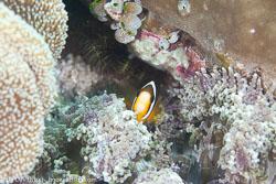 BD-111123-Raja-Ampat-5064-Amphiprion-clarkii-(Bennett.-1830)-[Yellowtail-clownfish].jpg